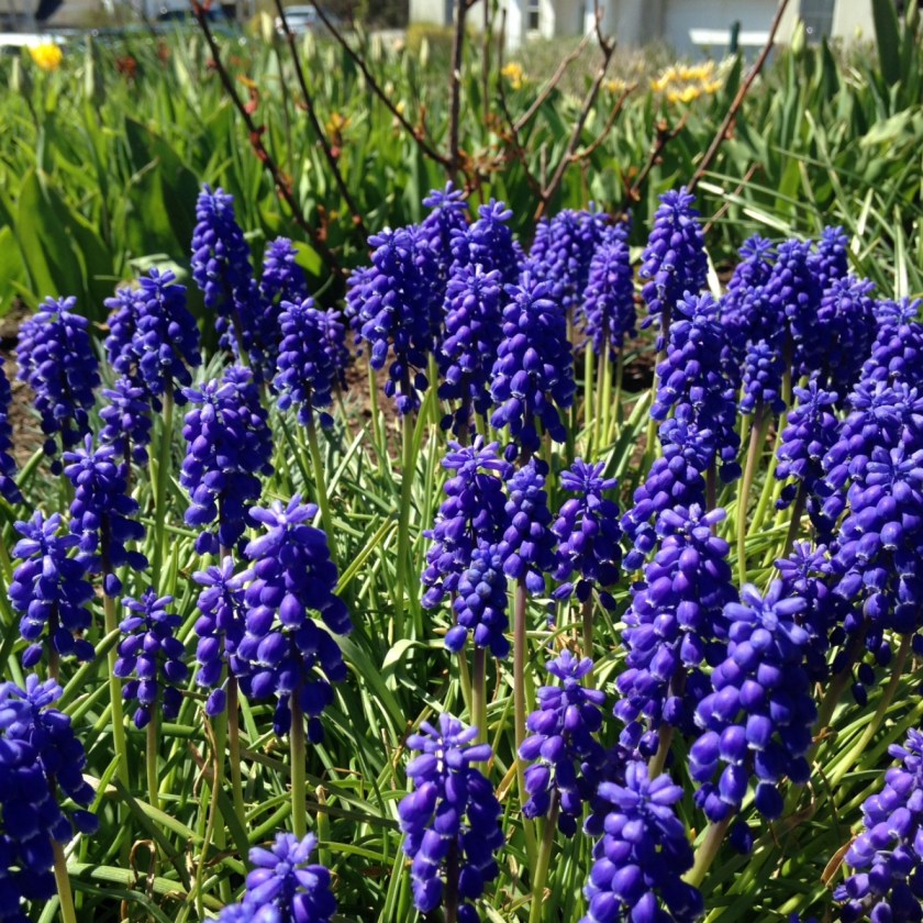 Grape hyacinth.