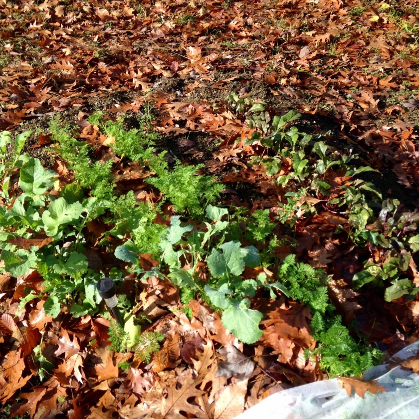 Greens under a carpet of oak leaves.