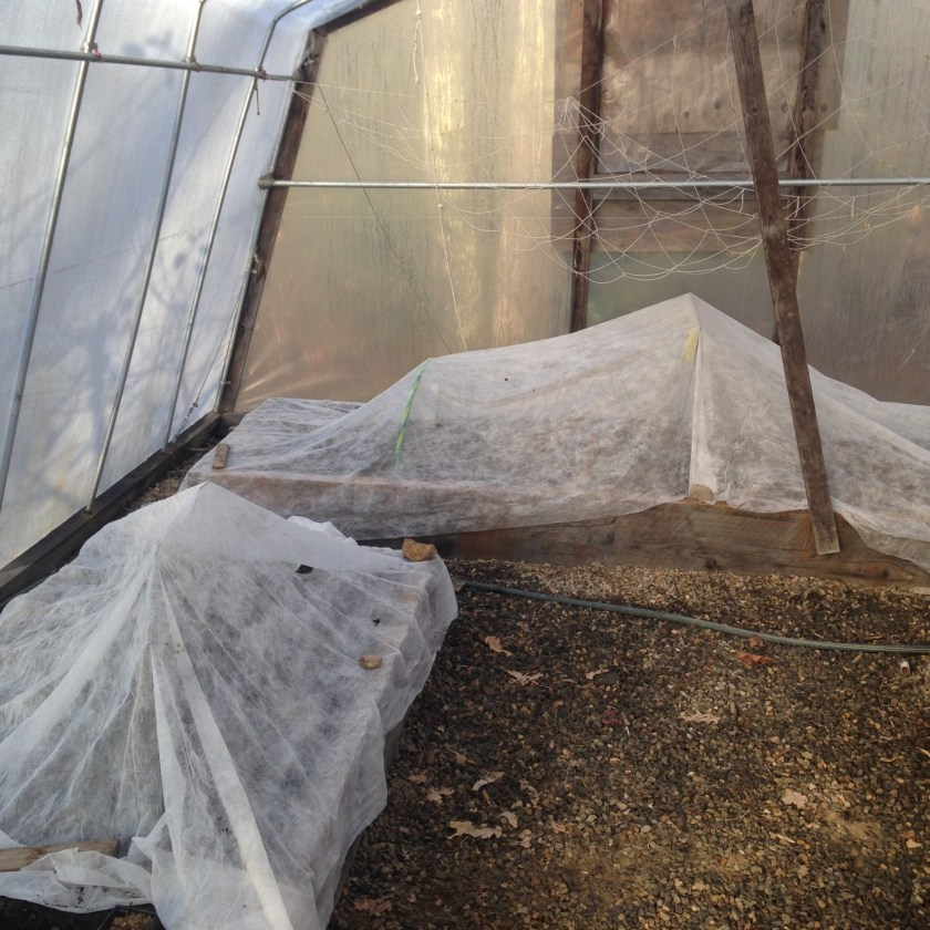Row covers over greens in the greenhouse.