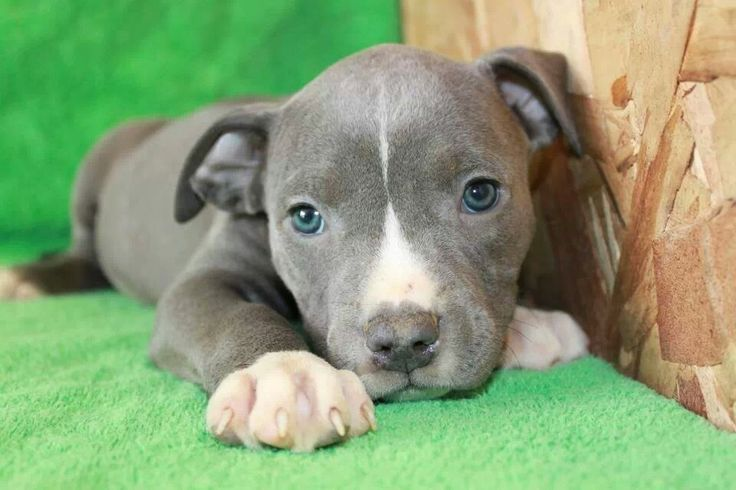 Image result for pitbull puppy