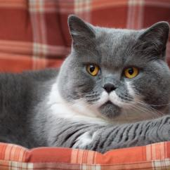 Low Back Sofa Height Brugt Wegner British Shorthair Breed & Health Info | Everypaw