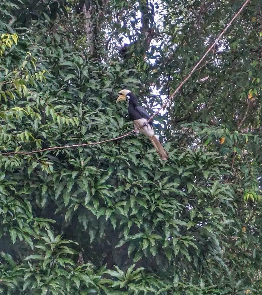 kinabatangan-sabah-borneo-hornbill