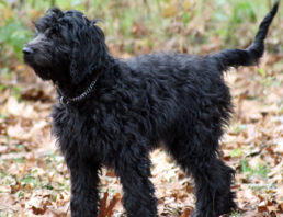Goldendoodle And Labradoodle Fur Types And Colors