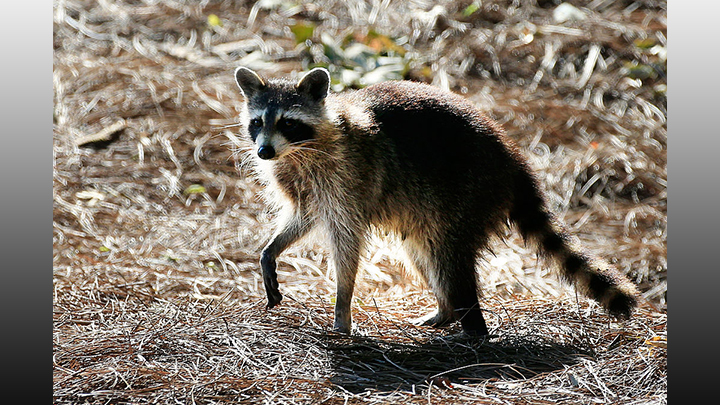 Raccoon_Getty.jpg