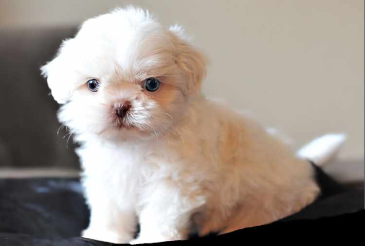 can shih tzu have