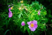 Wild Roses at Roughlock Falls