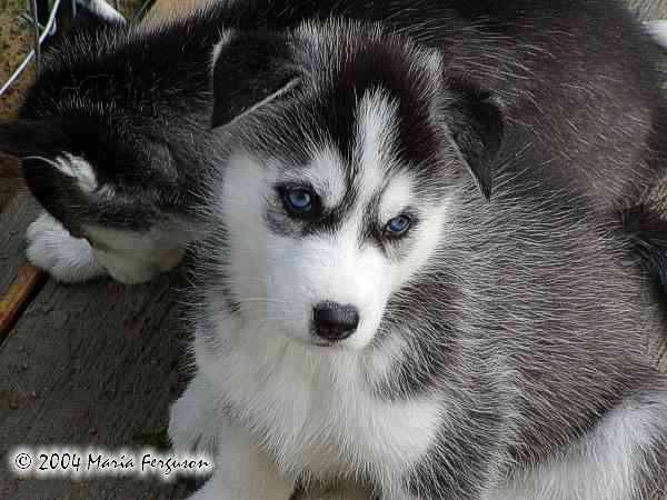 Cute Husky Puppies With Blue Eyes Wallpaper Nashoba Wolf Howl S Pup