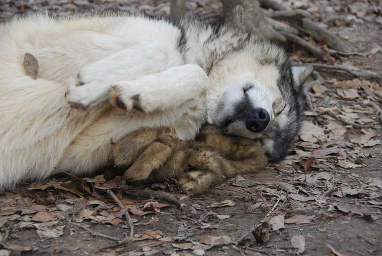 The Wolf Howl Animal Preserve Wolves Winter By Maria