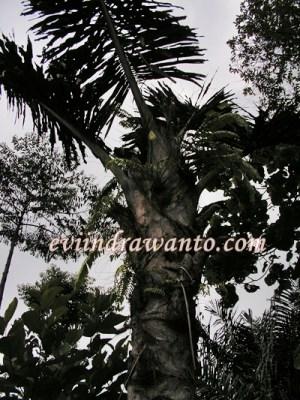 Pohon Aren di belakang rumah