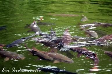 ikan sakti sungai janiah