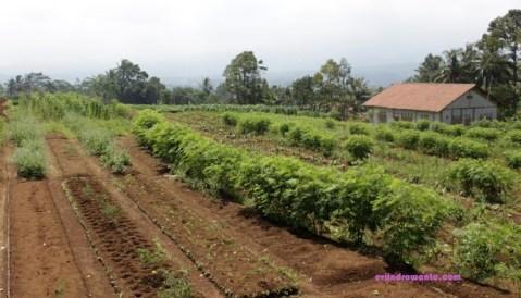 kebun organik 2