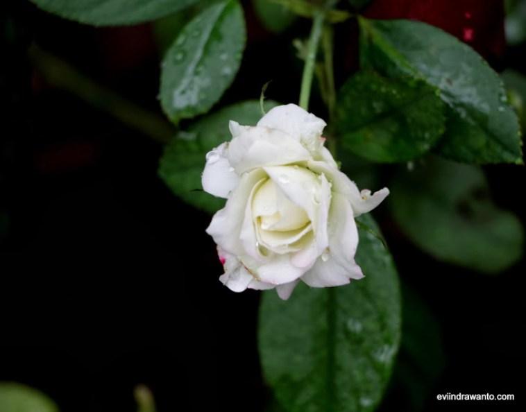 Kuncup mawar putih