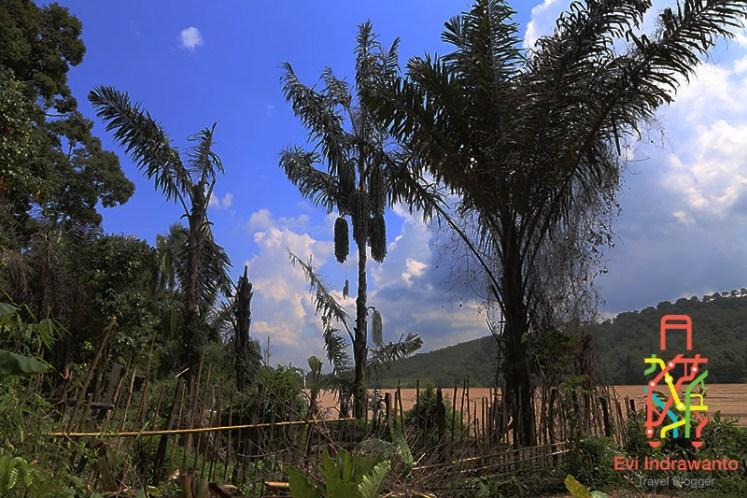 Pohon Aren di tepi Sungai Batanghari