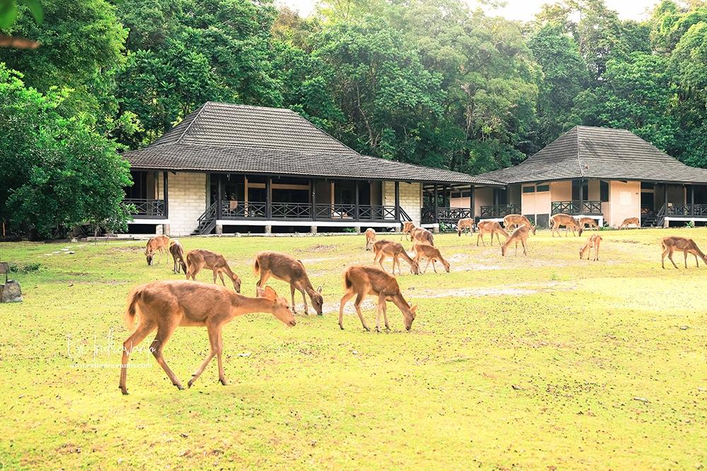 Kawanan Kijang bebas merumput di halaman resort