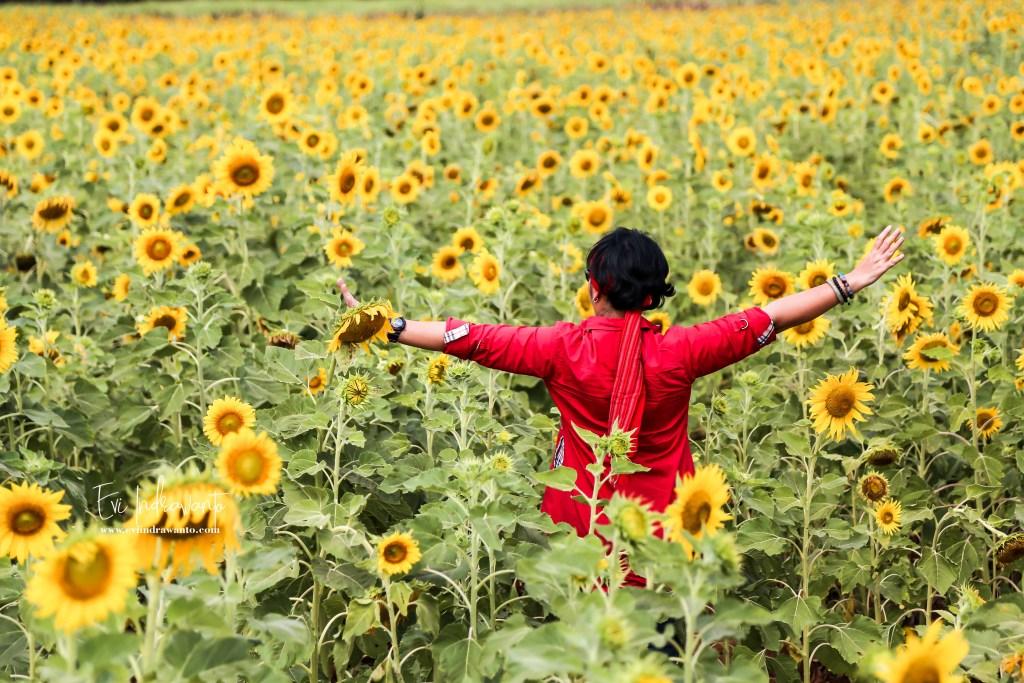 Main ke Ladang Bunga Matahari Lopburi Thailand
