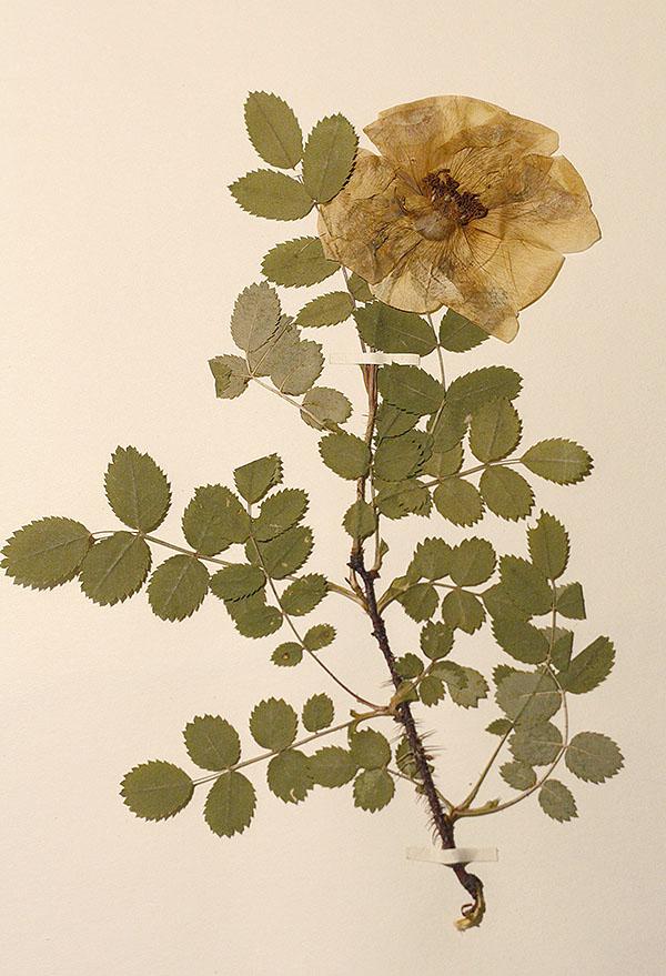 herbarium7