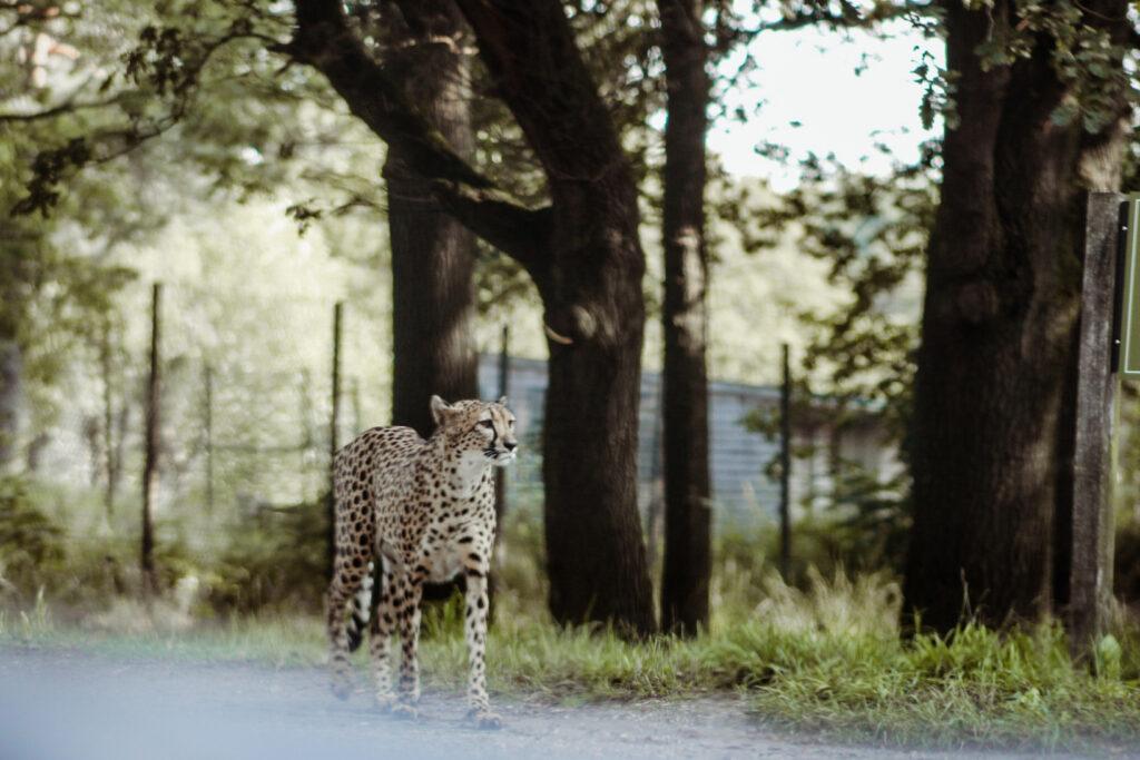 Cheetah in de Beekse Bergen