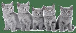 blauwe_kittens