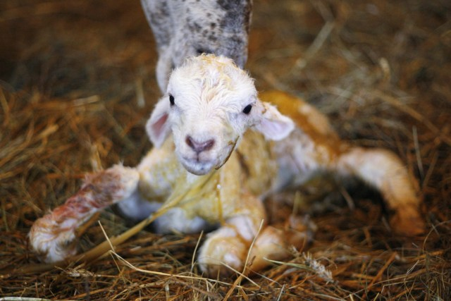 image of just born lamb being cleaned by its mother