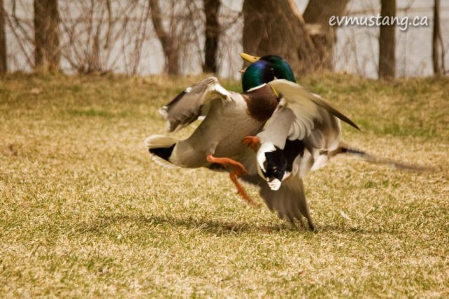image of ducks fighting