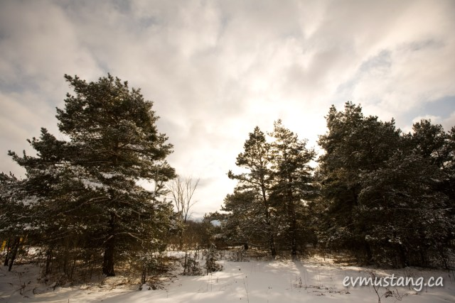 image of pine trees in winter backed by sunlight
