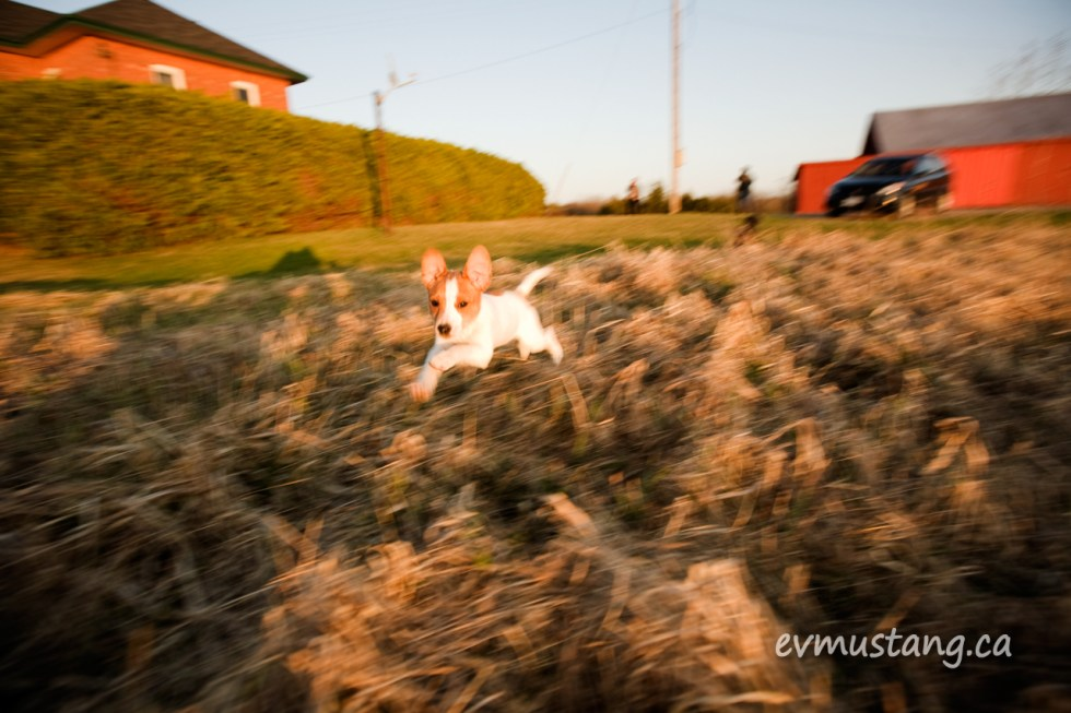 image of Jack Russell puppy leaping through a farmer's field