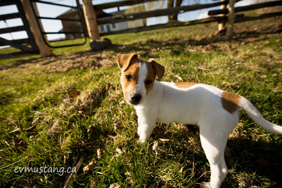 image of Jack Russell puppy