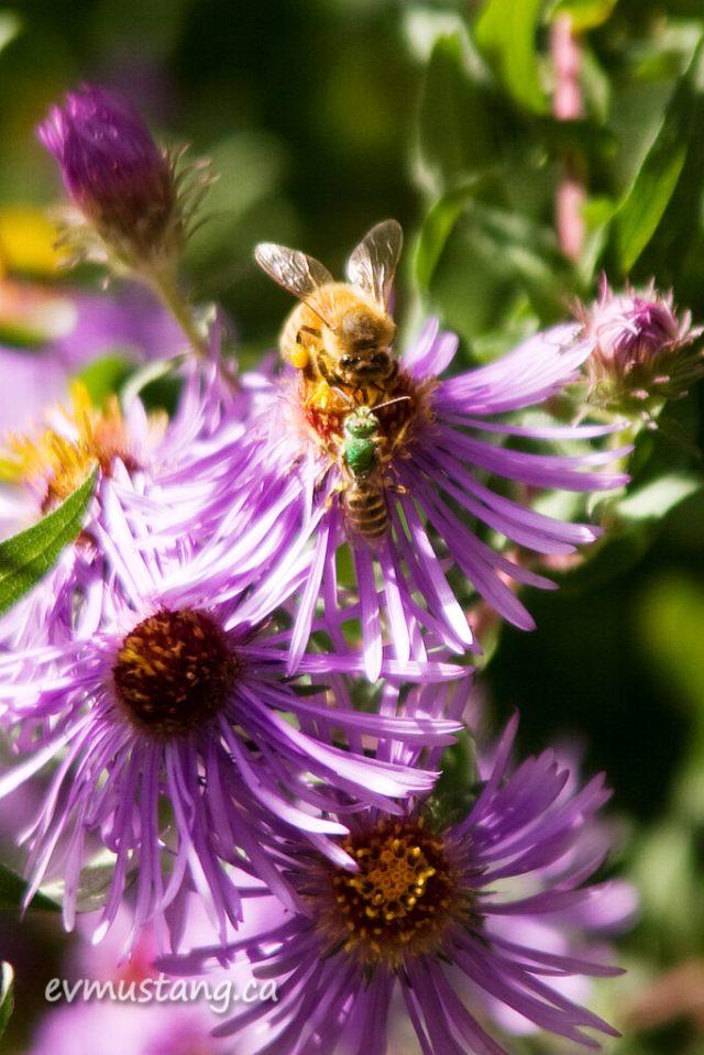 image of honey bee and green sweat bee