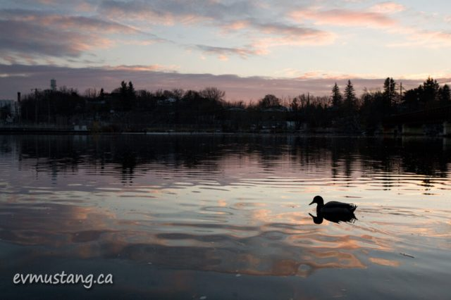 image of duck on the otonabee river at sunset