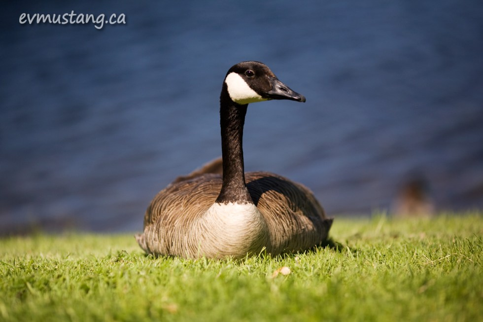 image of goose in grass