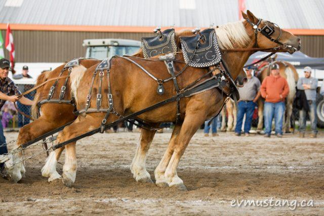 image of heavy horses pulling 9500 pounds