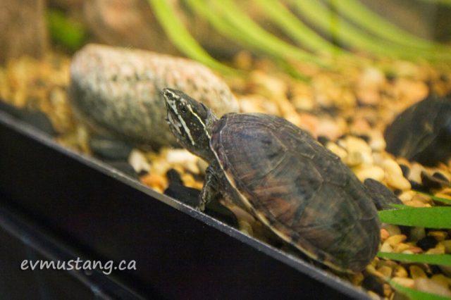 turtles12