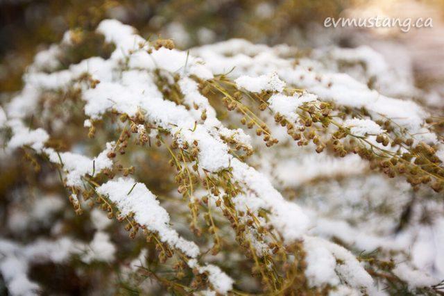 image of snow on artemesia