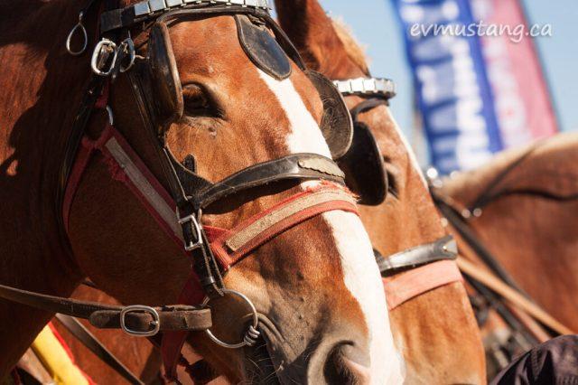 norwood_horses_01