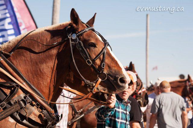 norwood_horses_02