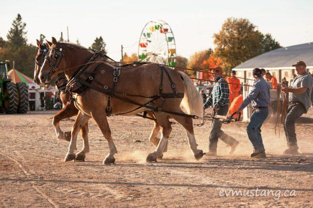 norwood_horses_04