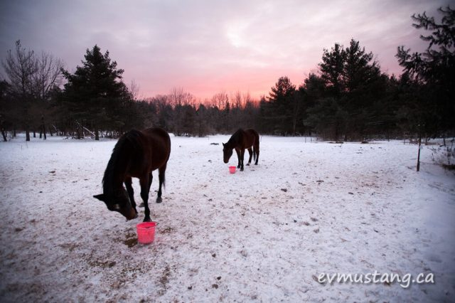 image of two horses, caz and ava, enjoying their morning feed under a rosy sunrise