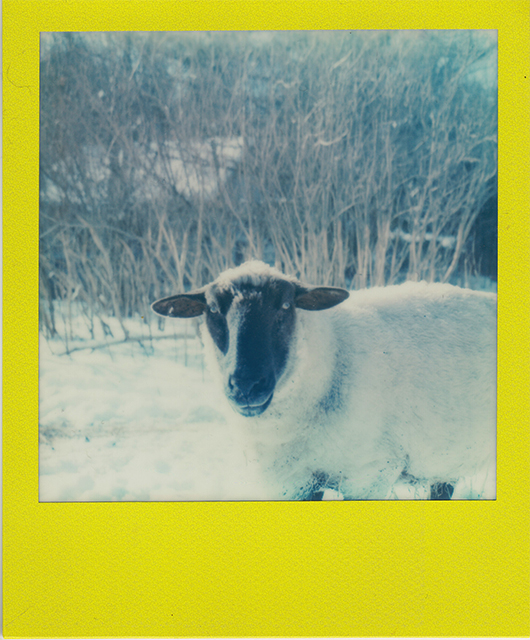 scan of a polaroid photograph of a black faced ewe in a snowy field