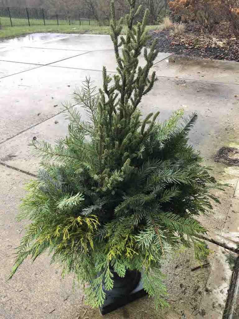 Add Evergreen Filler to Winter Porch Pot