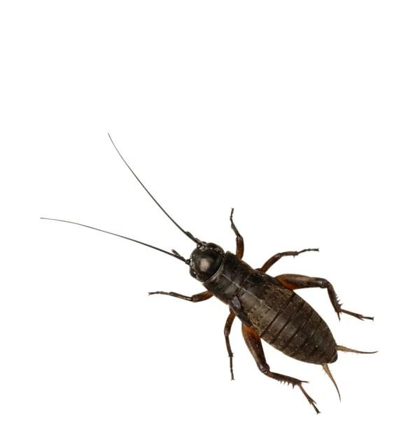Black Crickets - Small