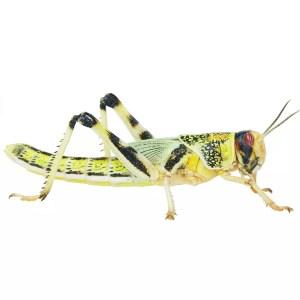 Locust (XL)