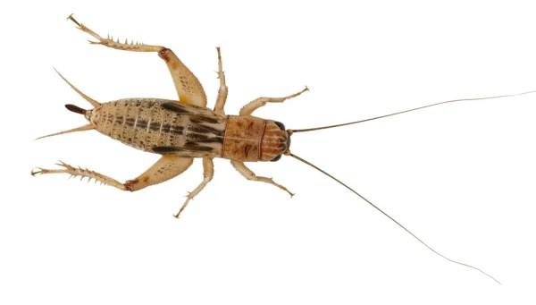 Silent Crickets - Medium Small