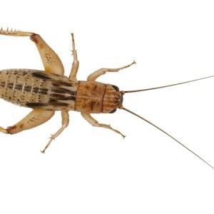 Silent Crickets - Micro