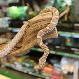Anerythristic Corn Snake for sale