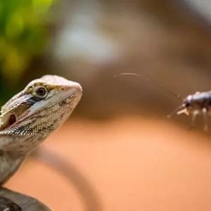 Bearded-Dragon-hand-feed