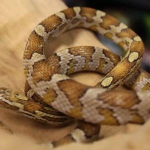 Caramel corn snake for sale