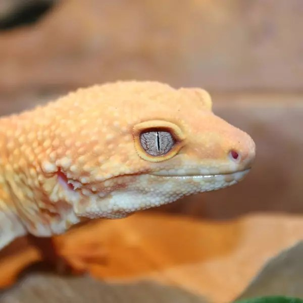 Pic of adult leopard geckos agree, the amusing