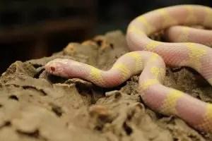 Albino Banded Californian King Snake - Lampropeltis getula californiae