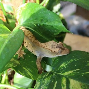 Crested Geckos - Correlophus ciliatus
