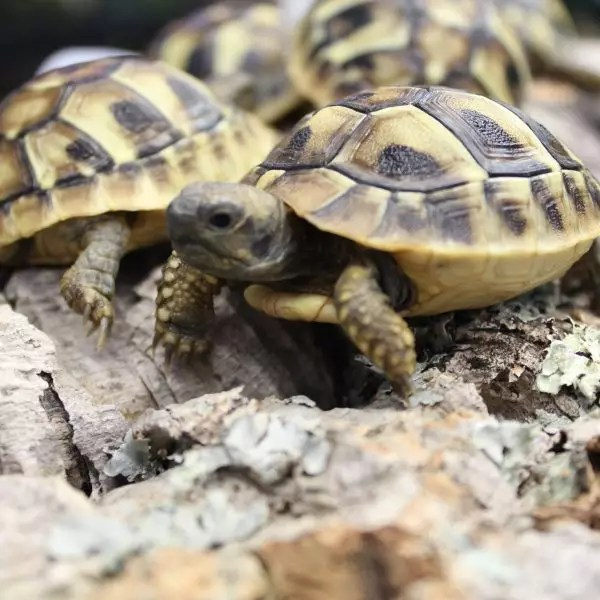 Hermanns Tortoises May 2016 1